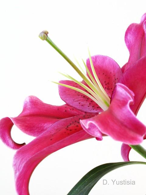 Dark Pink Stargazer Lily
