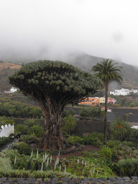 Dragon Tree Park (Parque del Drago) (3/6)