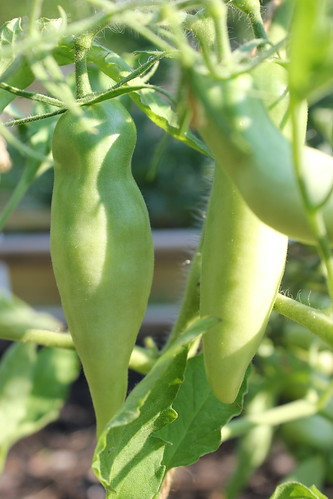 20120620. Crop report - green tomatoes are wild.