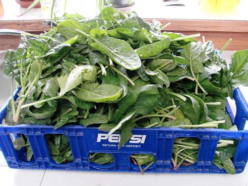 SpinachHarvest
