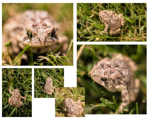 20120526 Toad-WM by {Pamela Zmija Photography}