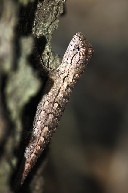 Fence lizard (Sceloporus sp.)
