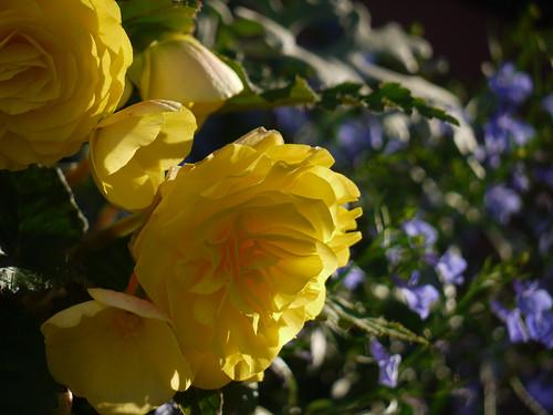 RSiegel_Week26 - Yellow Roses