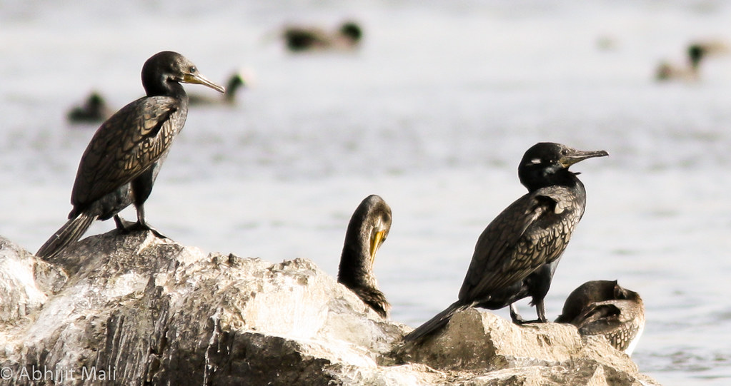 Group of Cormorants