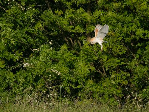 Barn Owl-hovering
