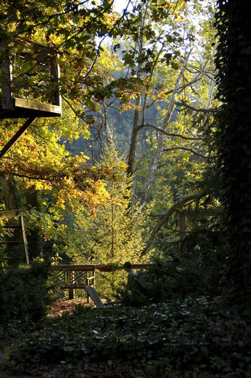 Light Through the Maples