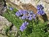 Ellingwood Ridge Wildflowers