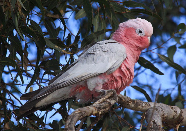 Pink and Grey (Eolophus roseicapilla)