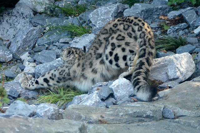 Snow Leopard Stretch