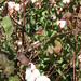 Cotton field, Mali - IMG_0720_CR2