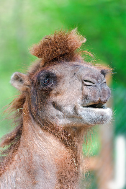 Camel With Funny Haircut Flickr Photo Sharing
