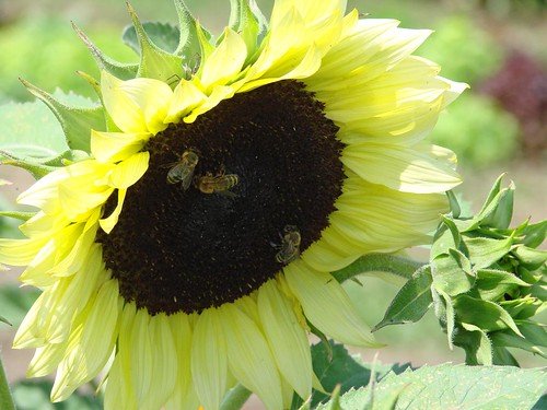 sunflowerbees