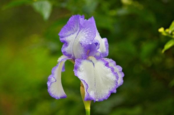 Iris mauve et blanche