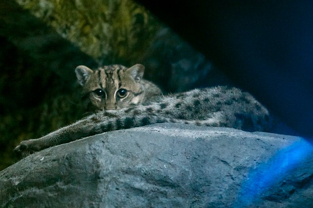 Fishing Cat Stare