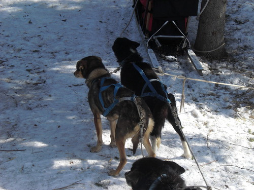 Dogs ready to run