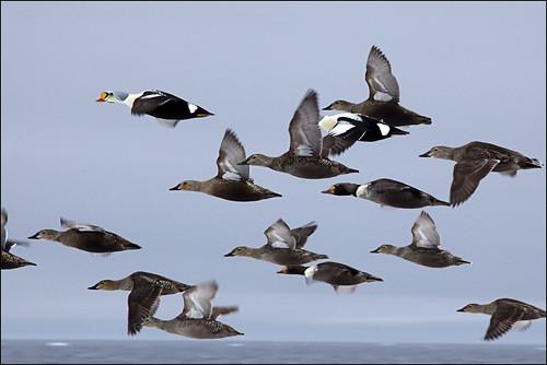 King Eider Duck