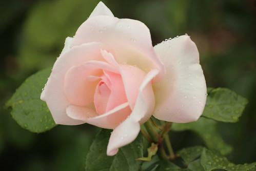 New York Botanical Garden Roses and Monet's Garden