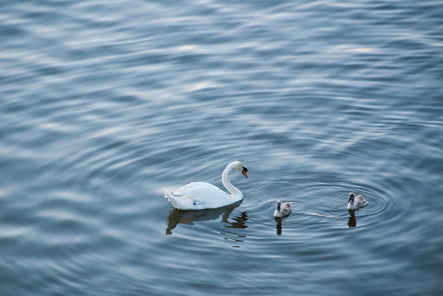 swan story