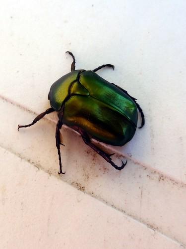 Jewel Beetle by bill kralovec