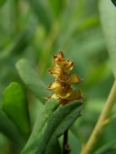 Bog myrtle flower (?)