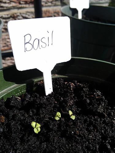 Basil is looking fantastic so far