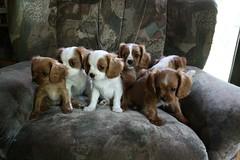 Puppies 2.0 9 weeks