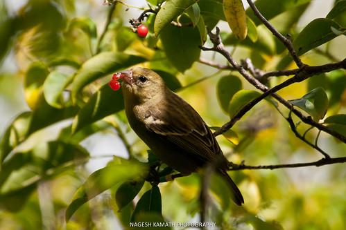 Mauritius Fody (Endangered)