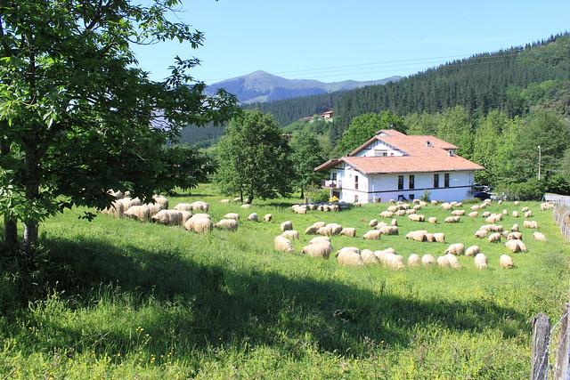 Rebaño de ovejas #Photography #Flickr #Foto  33