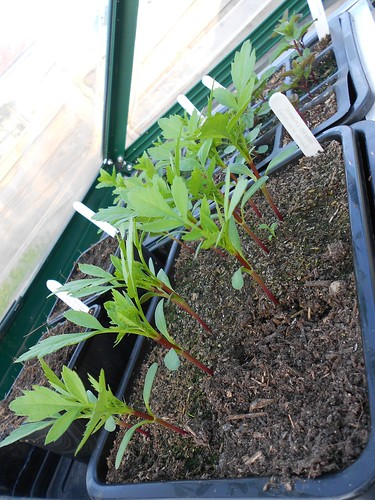 Tagetes seedlings