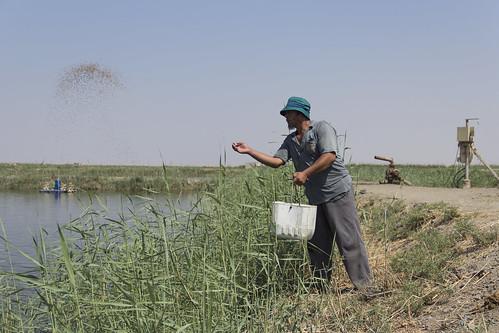 Fish feeding at large fish farm, Faiyum, Egypt. Photo by Samuel Stacey, 2012.