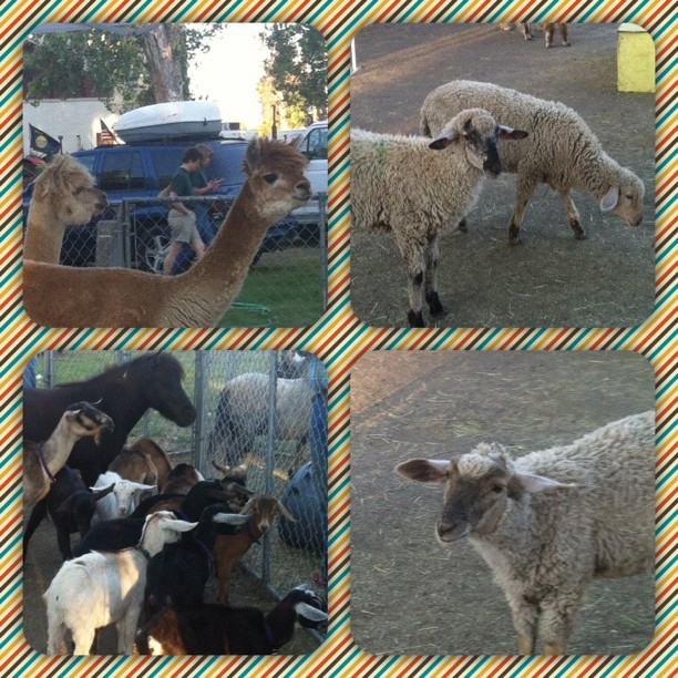 I want sheep and goats and llamas someday. #PicFrame