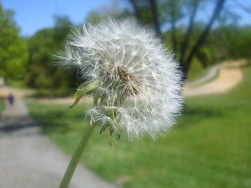 Fluff dandelion