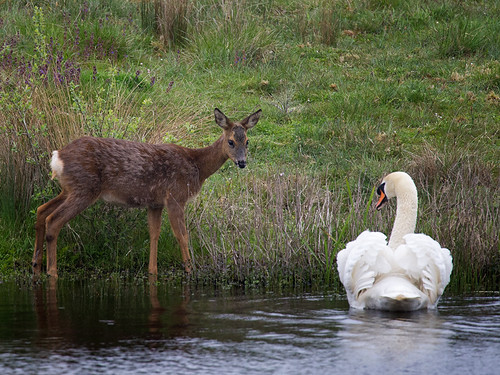 Roe deer and Mute Swan