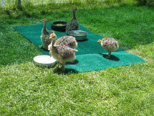 2012_07_04_AcademyOfSciences_c_ostriches