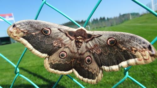 Giant Peacock Moth by bill kralovec