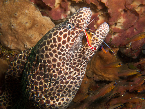 Honeycomb Moray gets cleaned by Shrimp