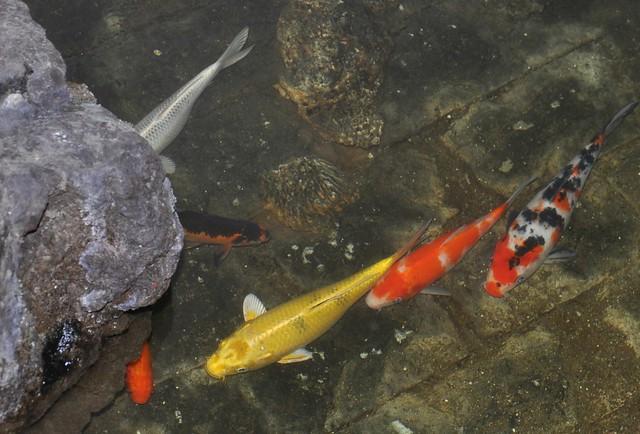 Koi Fishies