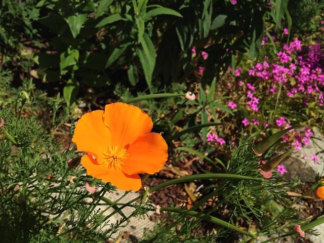 California poppy (Eschscholzia californica, Papaveraceae)