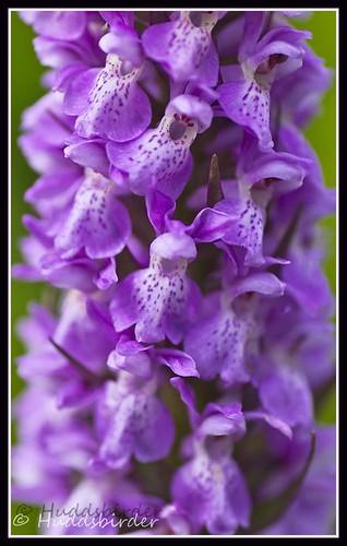 Marsh Orchid ID?