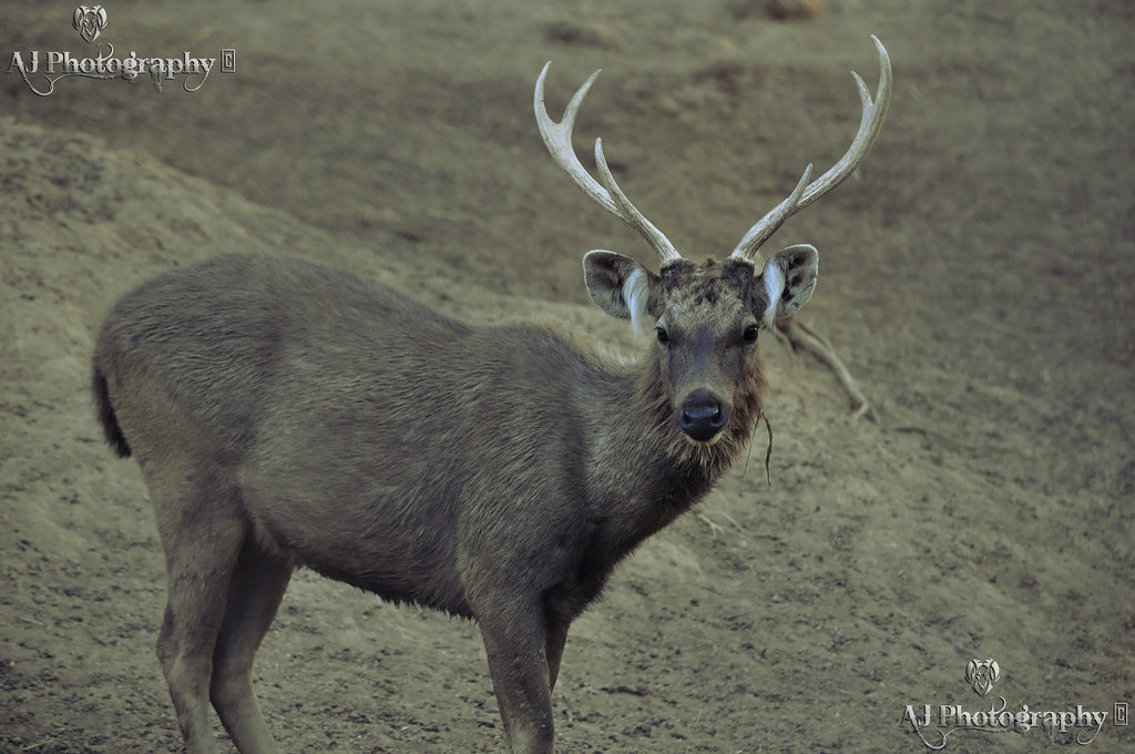 Sambar Deer At Flickr By Ajay Singh Kharayat
