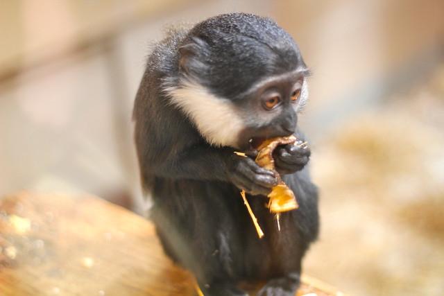 Capuchin?