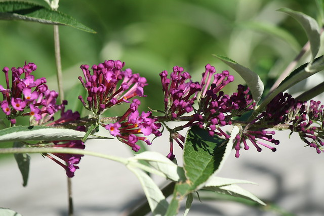 butterfly bush budding