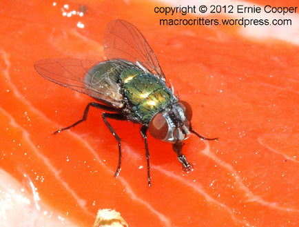 blow fly2 Calliphoridae cropped © Ernie Cooper 2012 sm for post