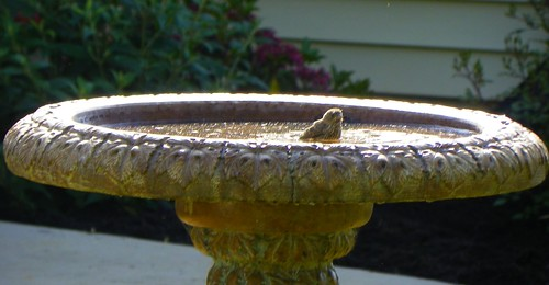 Sparrow Hatchling in the Bird Bath