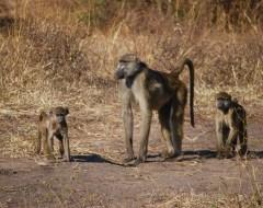 Baboons - Chobe National Park, Botswana