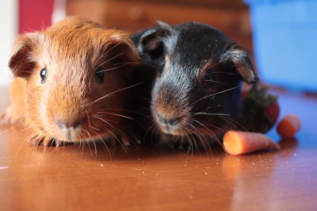 Meet the Piggies