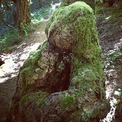 Bear Stump