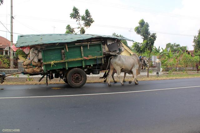 Cart & Cows
