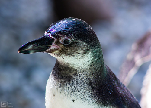 Humboldt Penguin by mypixelizedview