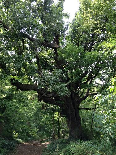 Burr Oak by BGTwinDad